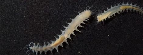 Биологи записали один из самых громких звуков планеты. Его выдает морской мини-червь