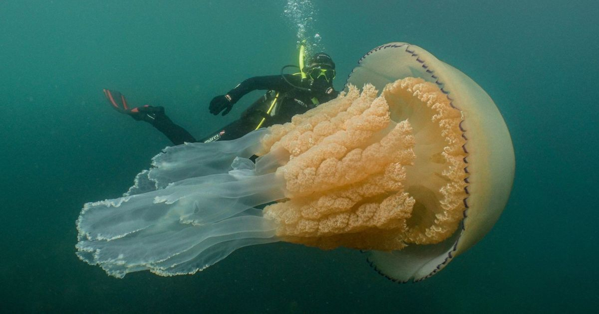 Біля узбережжя Британії виявили гігантську медузу, більшу за людину