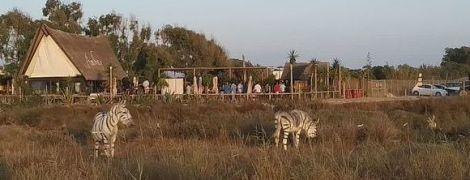 В Іспанії двох віслюків пофарбували у зебр для вечірки: зоозахисники обурені