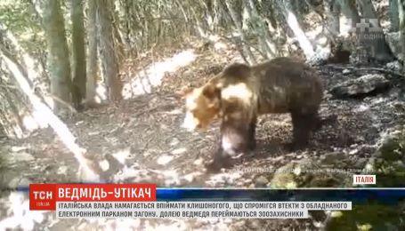 Итальянская власть пытается поймать медведя, который смог сбежать из электрифицированного загона