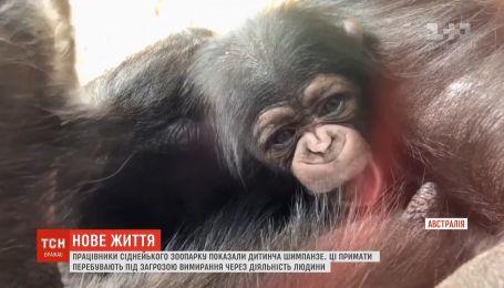 В австралийском зоопарке появился на свет малыш шимпанзе