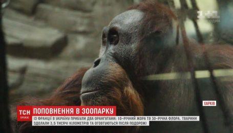 На постоянное проживание из Франции в зоопарк Харькова прибыли два орангутанга