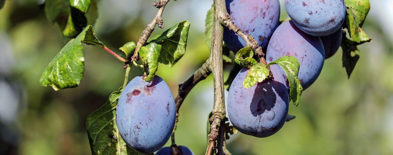 Цього року в Україні рекордно маленький урожай сливи
