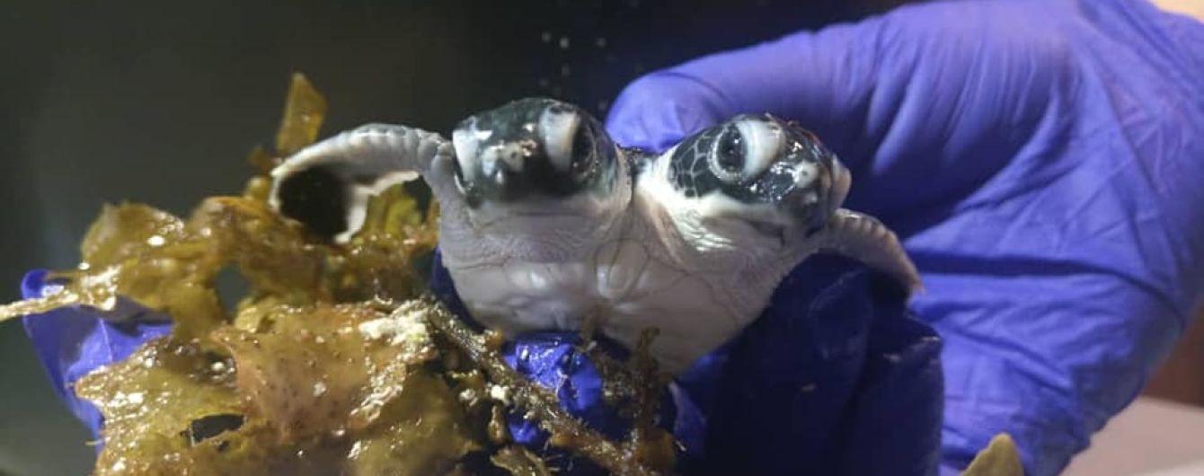 В Малайзии нашли новорожденную черепашку с двумя головами