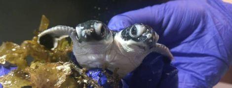 У Малайзії знайшли новонароджену черепашку з двома головами