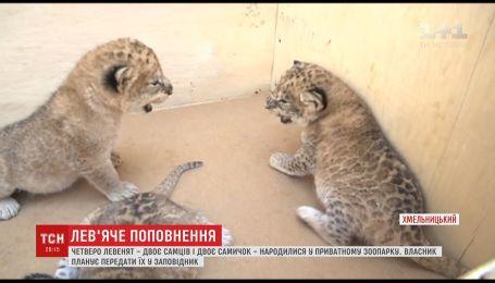 Четверо левенят народились у Хмельницькому приватному зоопарку