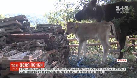 У болгарської корови, яка прославилася нелегальним перетином кордону з Сербією, народилося маля