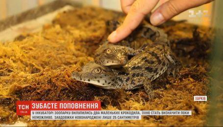 В инкубаторе харьковского зоопарка появились на свет двое маленьких крокодилов