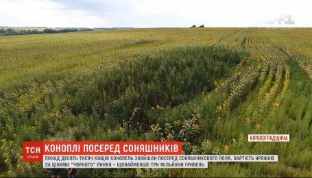 На Кіровоградщині посеред соняшникового поля виявили плантації конопель