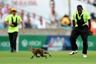 В Лондоне матч по крикету остановила лисичка, которая наложила кучку посреди поля