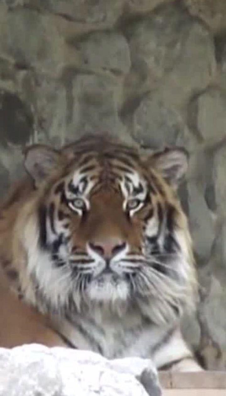 Міжнародний день тигра - цікаві факти про смугастого хижака