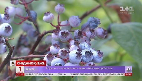 В Украине дешевеет голубика - Экономические новости