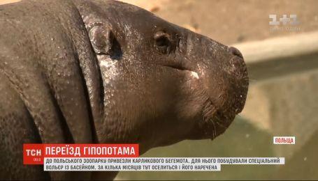 В польский зоопарк переехал карликовый гиппопотам Джабари