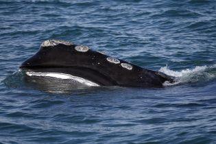 """""""Шаг к вымиранию"""". Почему ученые поднимают тревогу из-за массовой гибели атлантических китов в Канаде"""