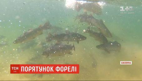 В притоки рек Прут и Черемош выпустили более 100 тысяч мальков форели