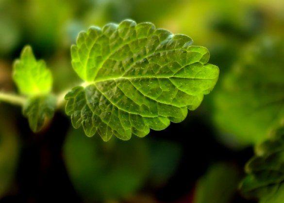 душистые растения_3
