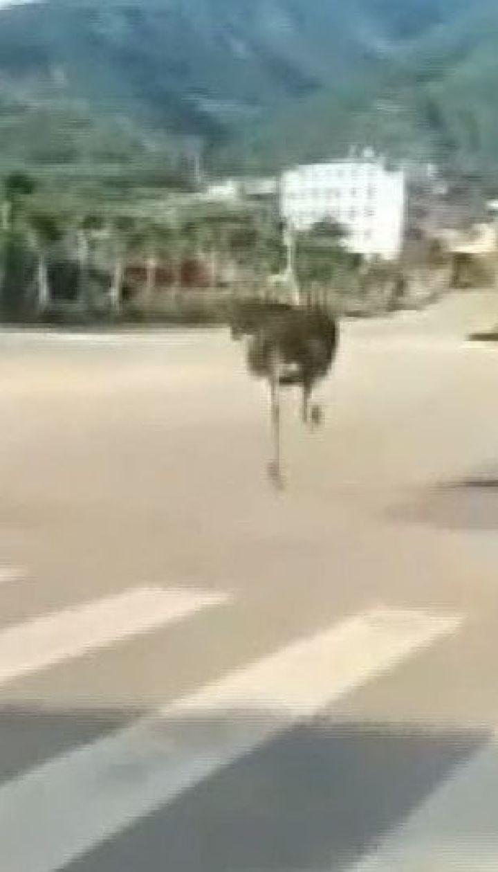 В Китае страус-беглец устроил переполох на дороге