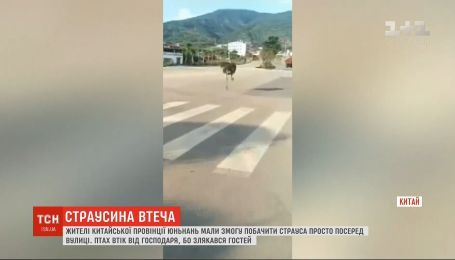 У Китаї страус-втікач влаштував переполох на дорозі