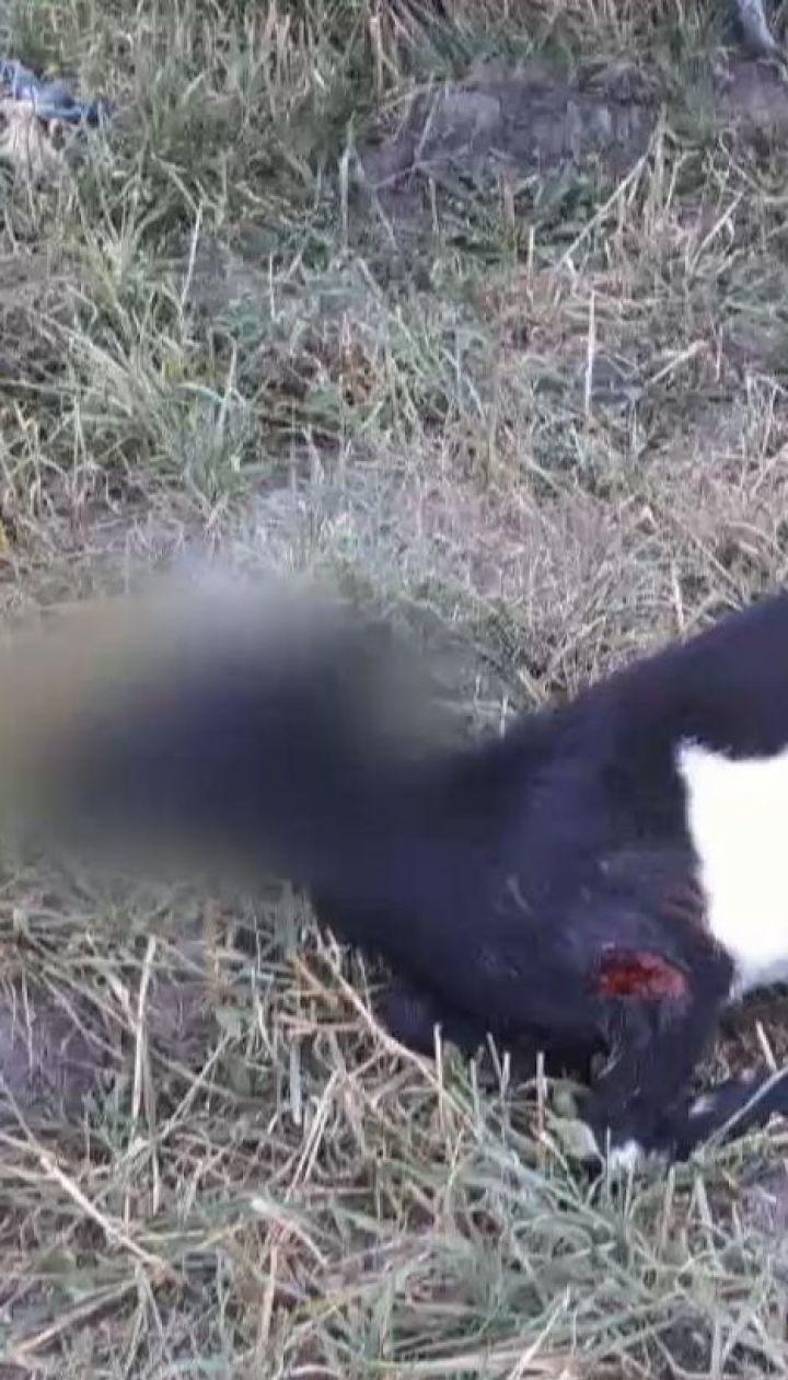 Здичавілі собаки душать курей і роздирають кіз на Львівщині