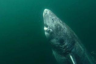 В Гренландии поймали акулу, которой может быть больше 500 лет
