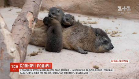 В Честерском зоопарке родились трое даманов