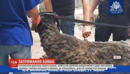 В Одессе патрульным пришлось ловить барана, который подвергал людей опасности