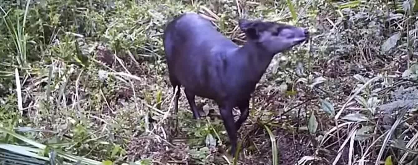 На Килиманджаро зоологи сняли очень редкую антилопу