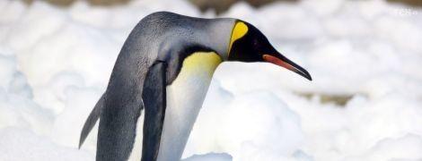 У Новій Зеландії знайшли рештки пінгвіна-монстра – він був заввишки з людину і важив до 80 кг