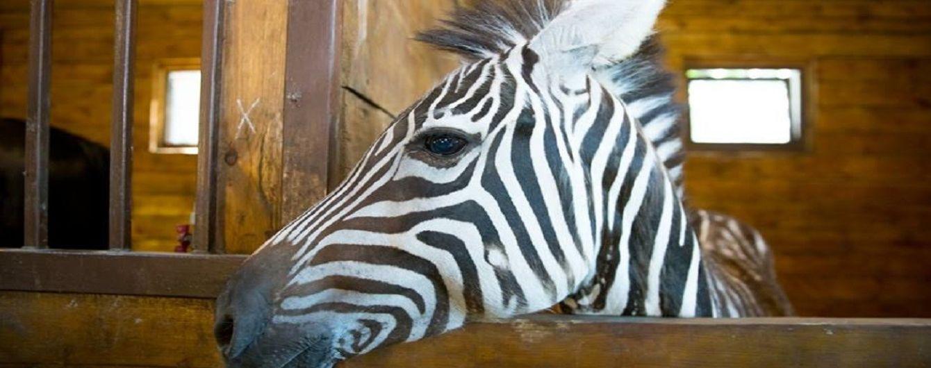 З харківського екопарку втекла зебра, містян просять її не ловити