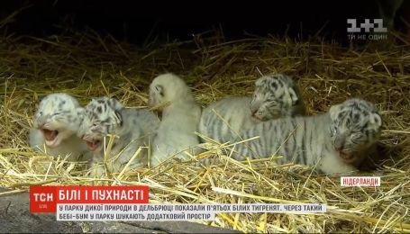 В нидерландском парке дикой природы показали пятерых детенышей белого тигра