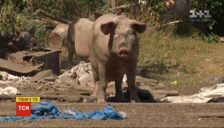 Около сотни неуловимых свиней держат в страхе все село в Полтавской области