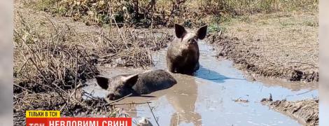 На Полтавщине начали отлов свиней, которые три месяца назад оказались на свободе и терроризировали крестьян