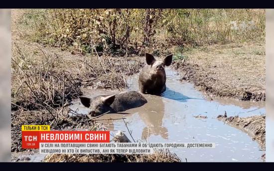 На Полтавщині почали відлов свиней, які три місяці тому опинилися на волі та тероризували селян