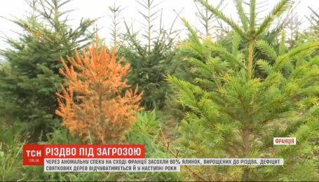 Рождество под угрозой: из-за жары во французском департаменте Вогезы засохли 80% елок