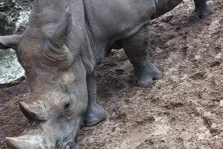 Во французском зоопарке двое посетителей выцарапали свои имена на коже носорога