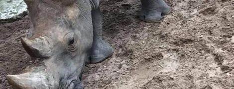 У французькому зоопарку двоє відвідувачів видряпали свої імена на шкірі носорога