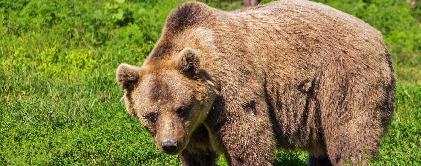У Росії ведмідь вбив коней депутата Держдуми