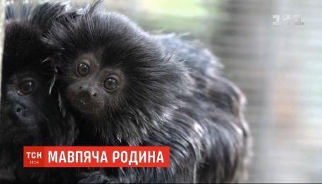 В венгерском зоопарке перед зрителями впервые позировала маленькая обезьянка из семьи игрунок