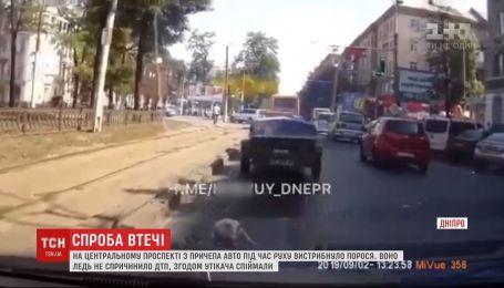 В Днепре посреди автодороги водители ловили поросенка
