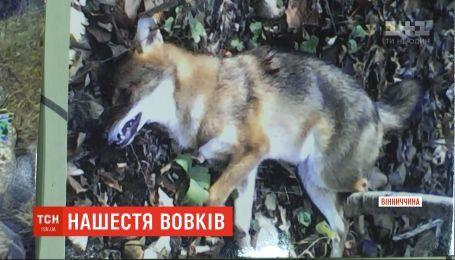 Волки терроризируют жителей нескольких сел в Винницкой области