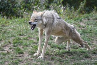 Вблизи села на Виннитчине развелись волки: они свободно заходят во дворы и охотятся на скот