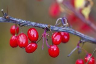 Кизил – мужская ягода