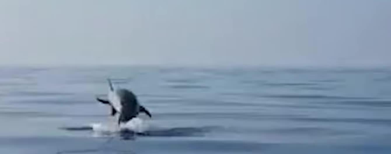 Дельфин поблагодарил рыбаков прыжками за спасение ее детеныша из ловушки