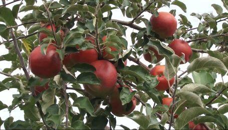 Цьогорічний врожай яблук осінніх сортів вдвічі менший за минулорічний - економічні новини