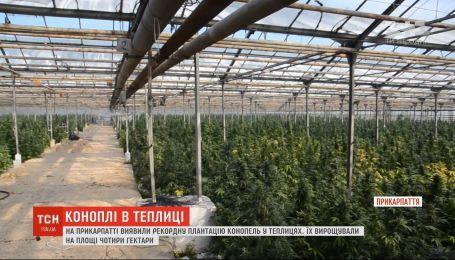 На Прикарпатье обнаружили плантацию марихуаны на 50 миллионов евро