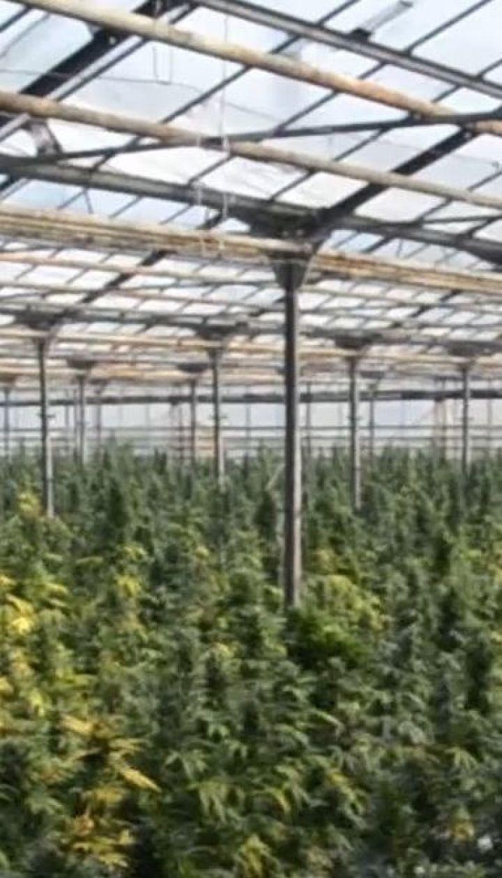 Замість огірків – марихуана: на Прикарпатті викрили масштабне нарковиробництво