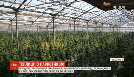 Вместо огурцов - марихуана: на Прикарпатье разоблачили масштабное наркопроизводство