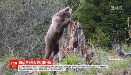 Редкость в дикой природе: в Словакии туристы засняли медведицу с пятью медвежатами