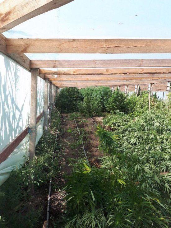 На Одещині батько з сином облаштували плантацію з півсотнею сортових конопель