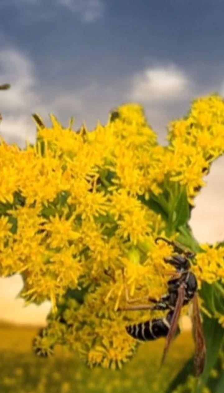 Виснаження алергією: в Україні нині пік цвітіння амброзії